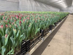 Automated tulip cultivation